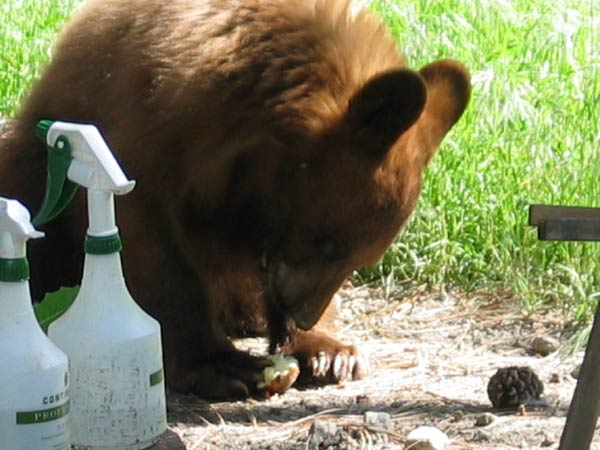 Cub raiding our compost bin for apples.